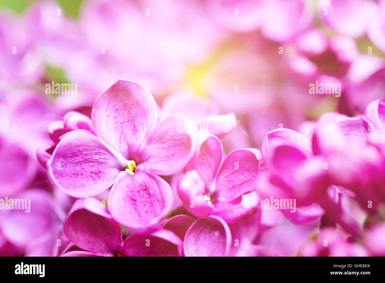 Bright lilac flower with sun rays shot with selective focus - Stock Image