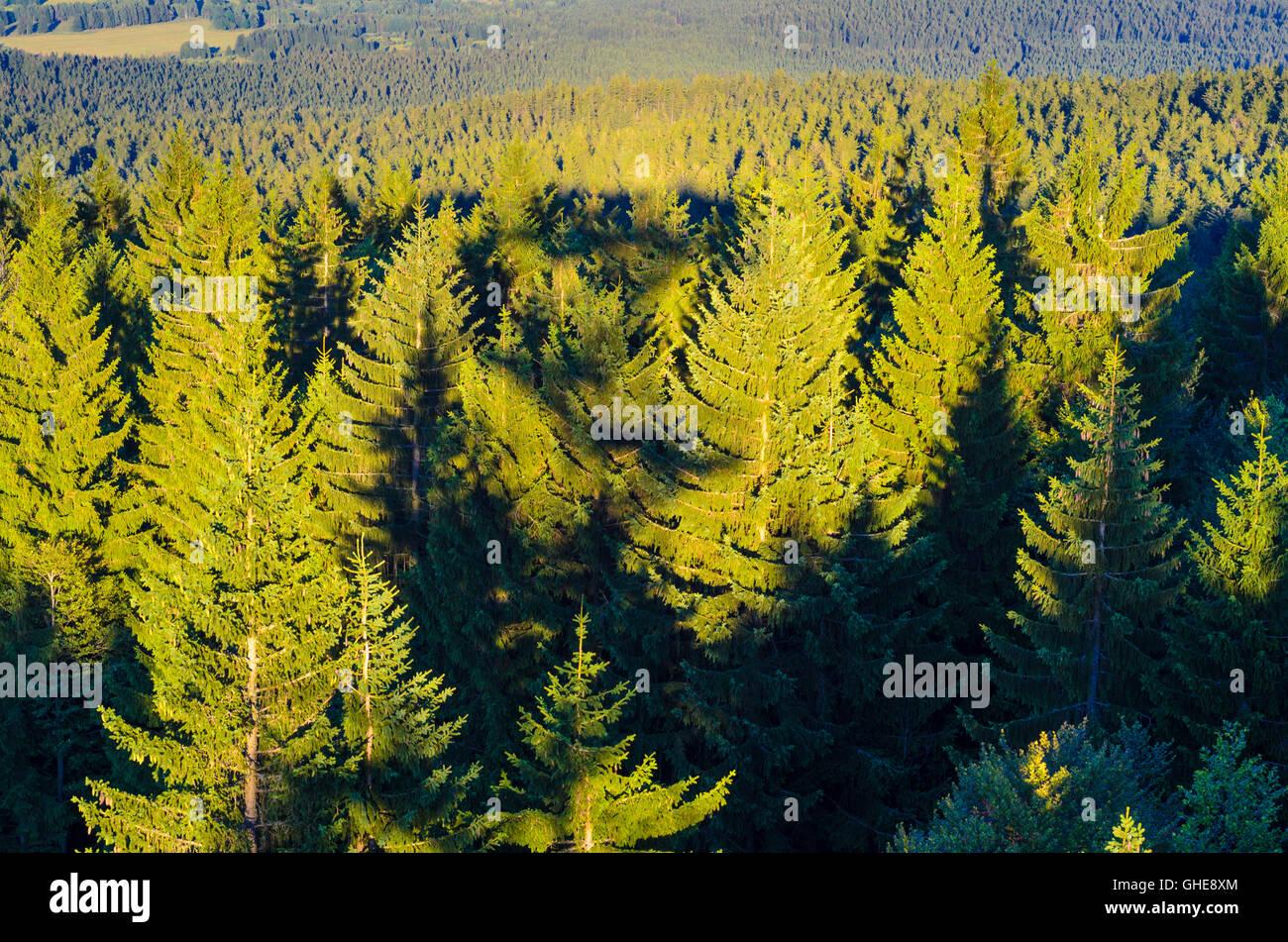 Norway spruce ( Picea abies ) in Bohemian Forest (Šumava), Austria, Oberösterreich, Upper Austria, Mühlviertel Stock Photo