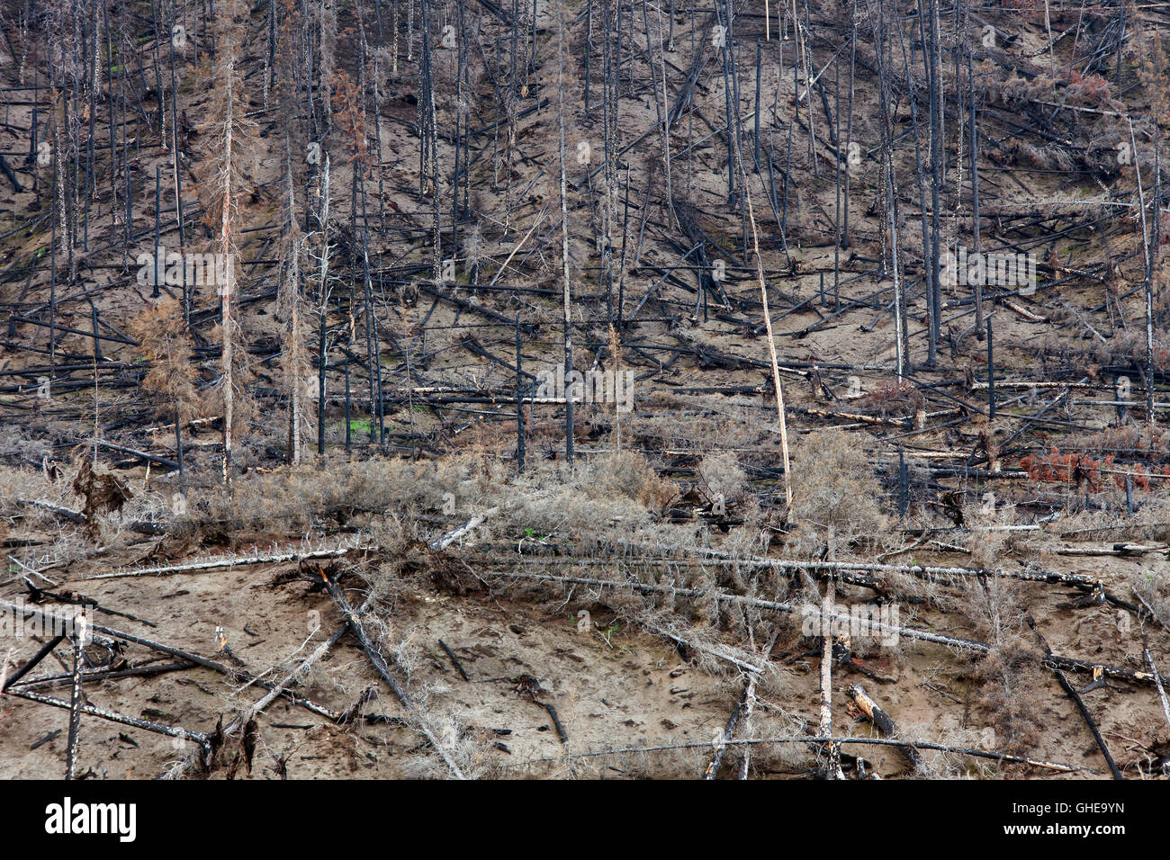 Charred tree trunks burned by forest fire, Jasper National Park, Alberta, Canada - Stock Image