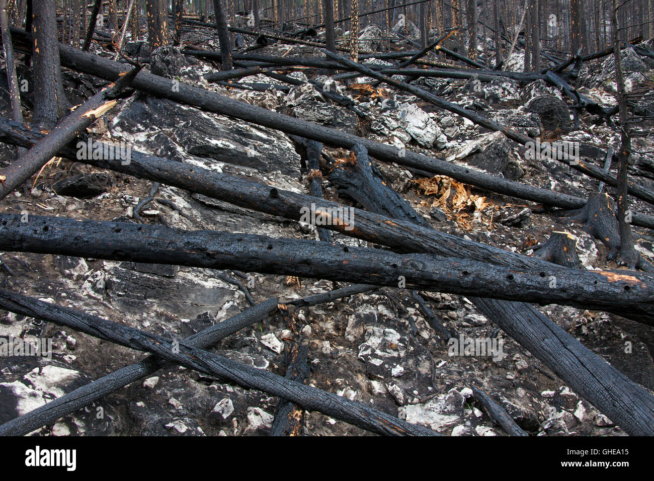 Charred tree trunks and scorched earth burned by forest fire, Jasper National Park, Alberta, Canada - Stock Image