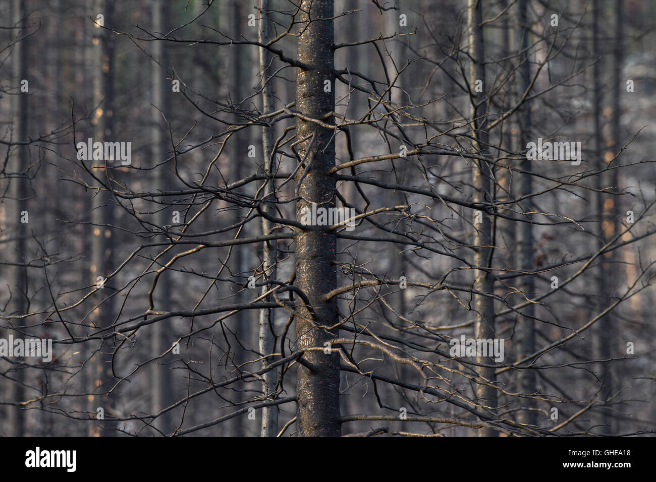 Burned tree trunks after wildfire in coniferous forest - Stock Image