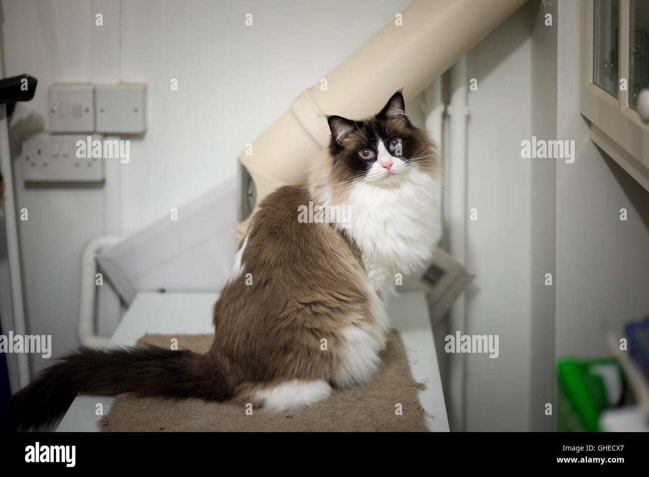 A Ragdoll cat caught on the warm hot water boiler on a cold evening in winter - Stock Image