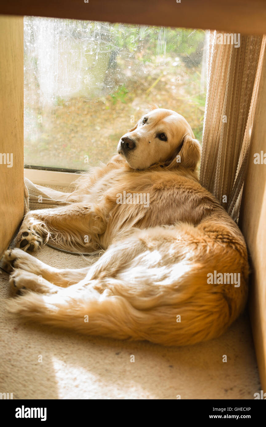 A dog not quite ready to be disturbed from his sunny spot under a desk - Stock Image
