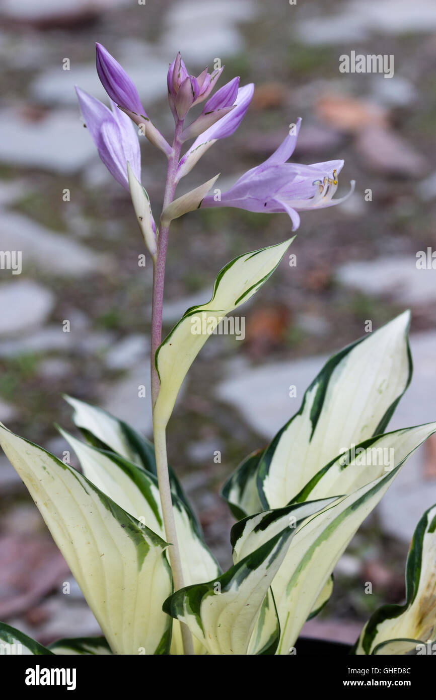 Heavily white variegated foliage and violet lily like flowers of the heavily white variegated foliage and violet lily like flowers of the hardy perennial hosta fire and ice izmirmasajfo