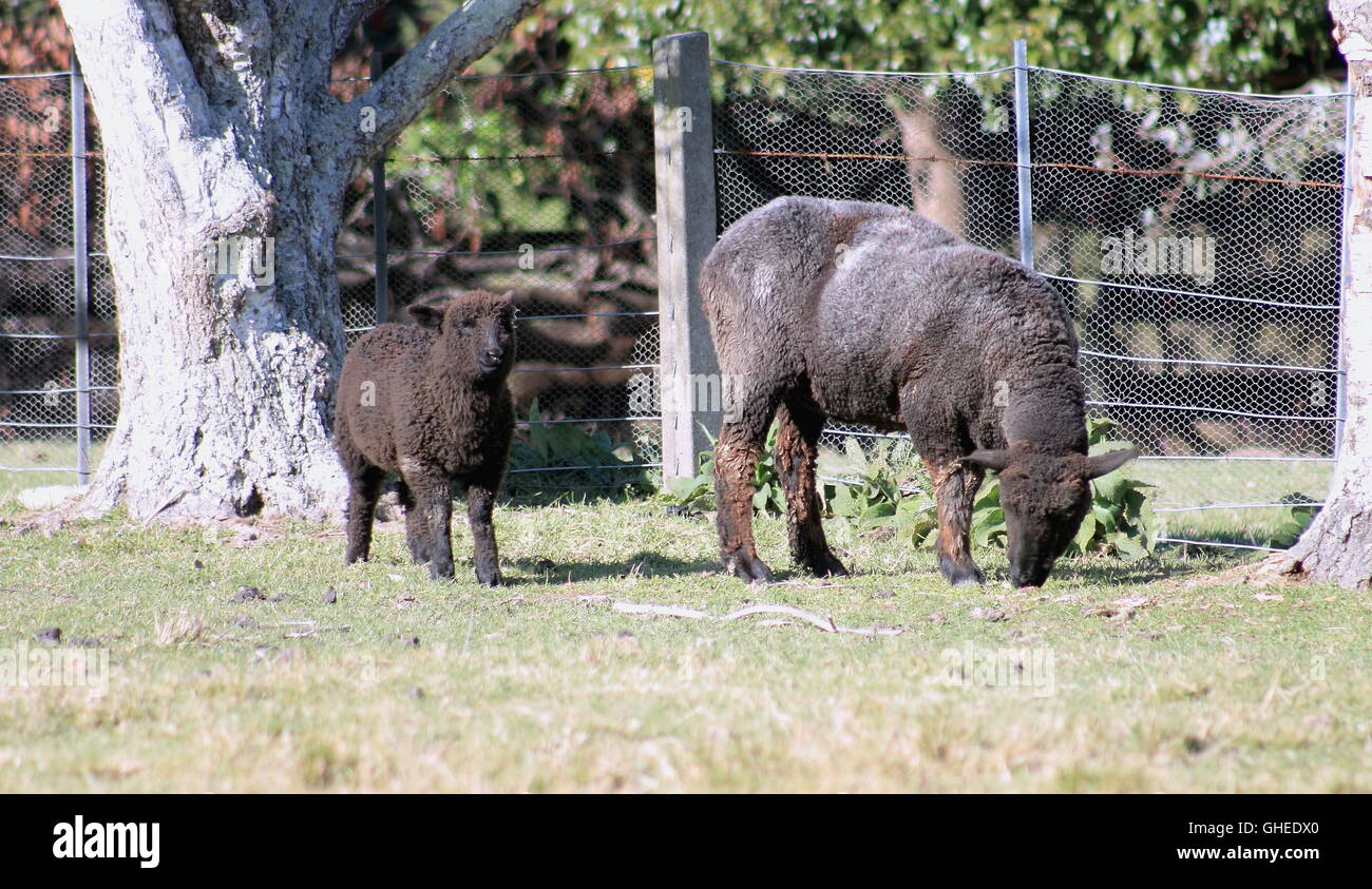 Black Sheep and Lamb - Stock Image