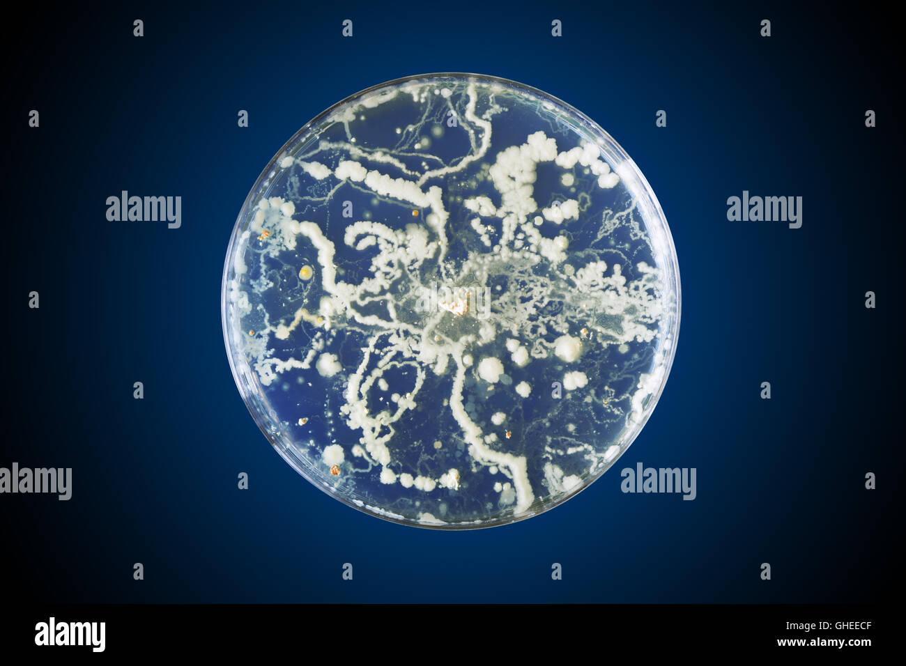 Bacteria growing in a petri dish - Stock Image