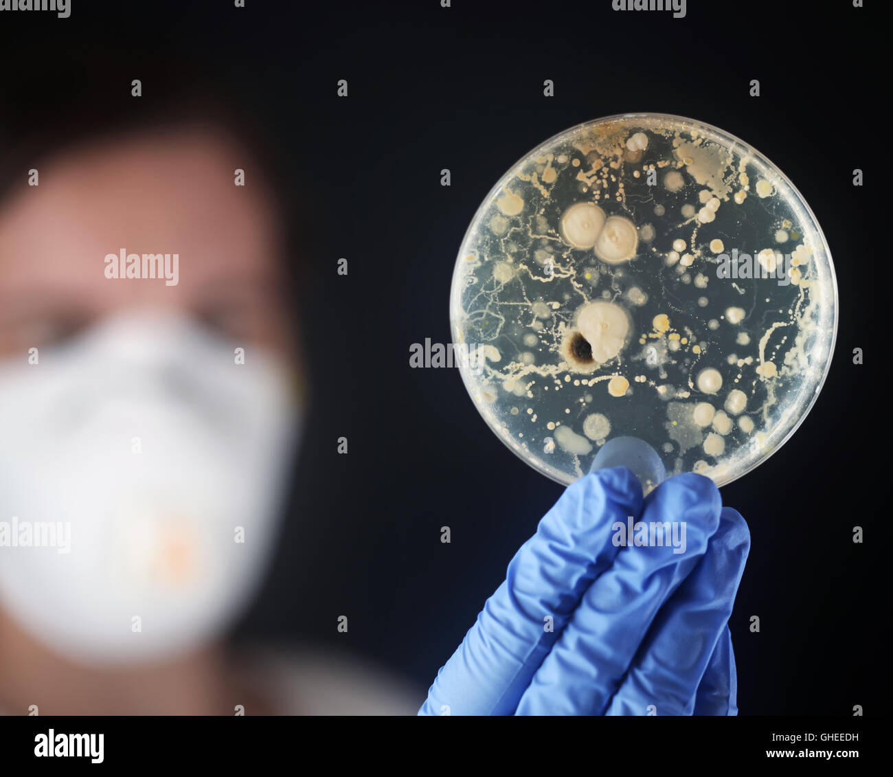 Examining bacteria in a petri dish - Stock Image