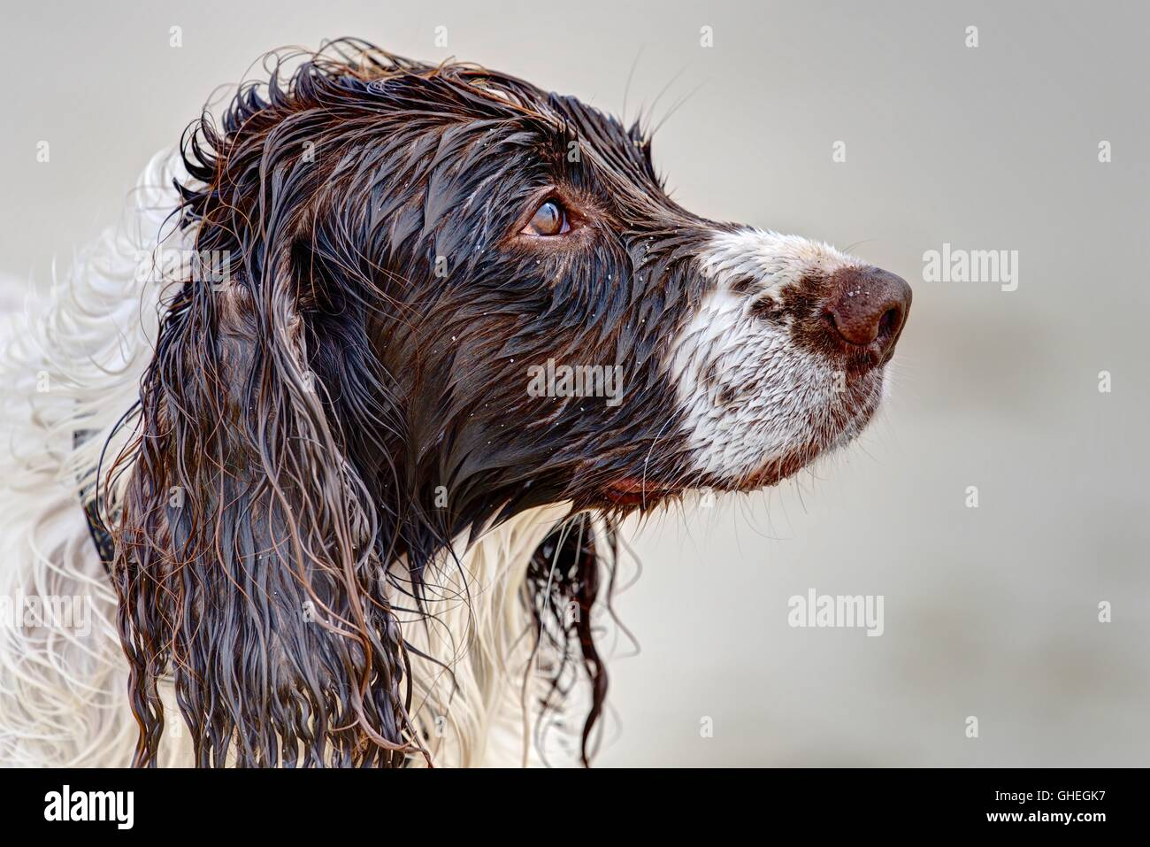 A Springer Spaniel (head only) soaked through with an expression of sorrow about going into the sea against the Stock Photo