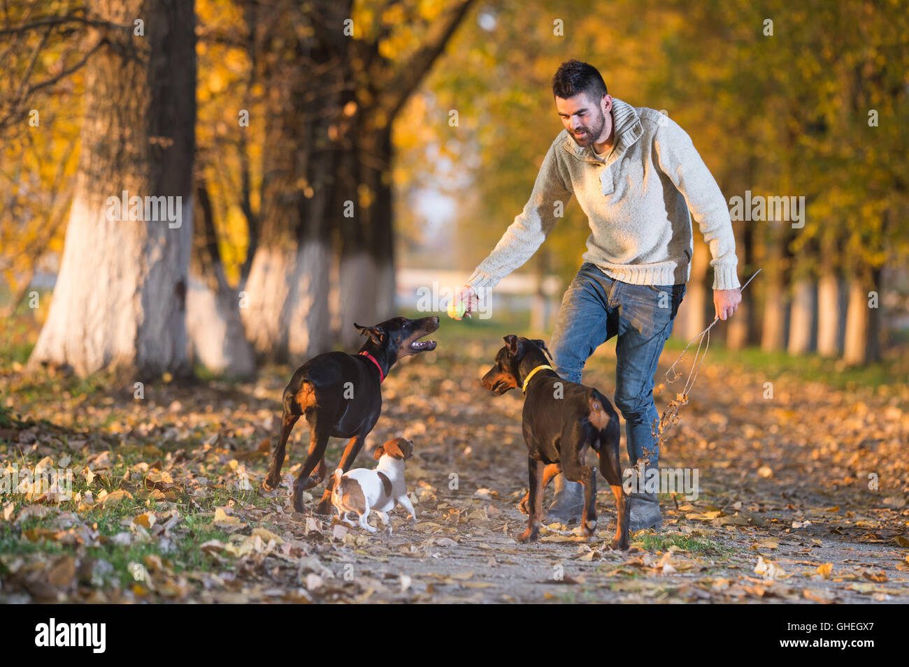 Doberman Pinscher with owner in training - Stock Image
