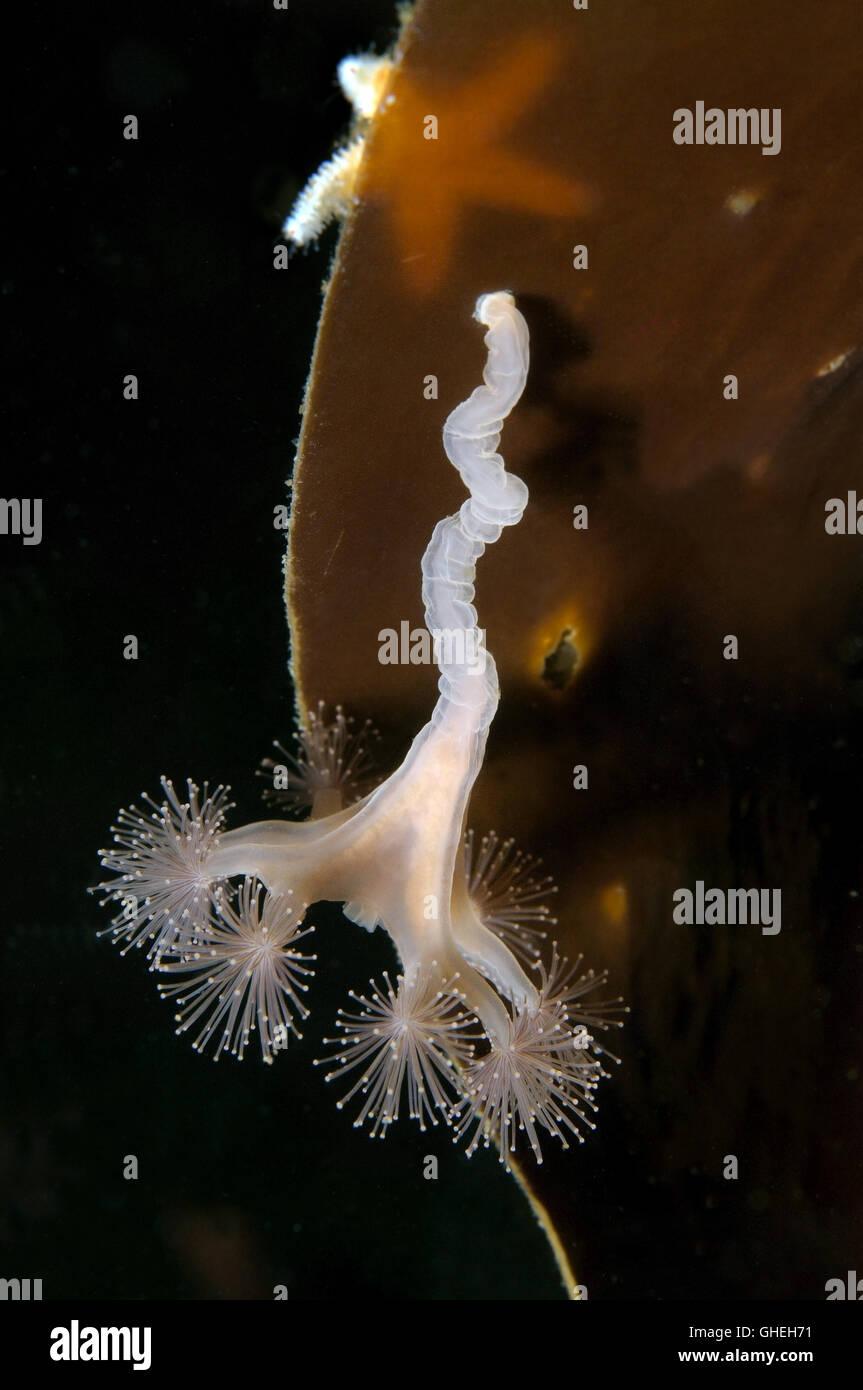 Stalked Jellyfish or Kaleidoscope Jellyfish (Lucernaria quadricornis) White sea, Russian Arctic - Stock Image