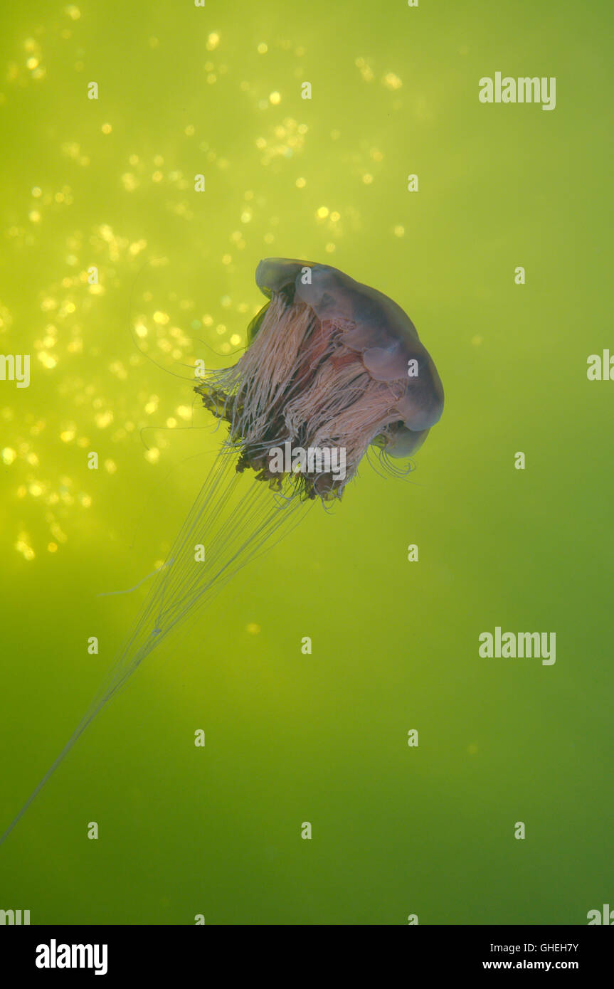 Lion's mane jellyfish, Giant jellyfish or Hair jelly (Cyanea capillata) White Sea, Russian Arctic Stock Photo