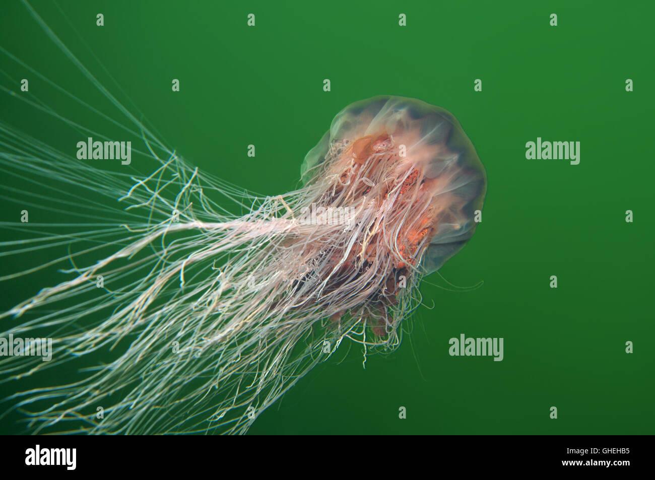 Lion's mane jellyfish, Giant jellyfish or Hair jelly (Cyanea capillata) White Sea, Russian Arctic - Stock Image
