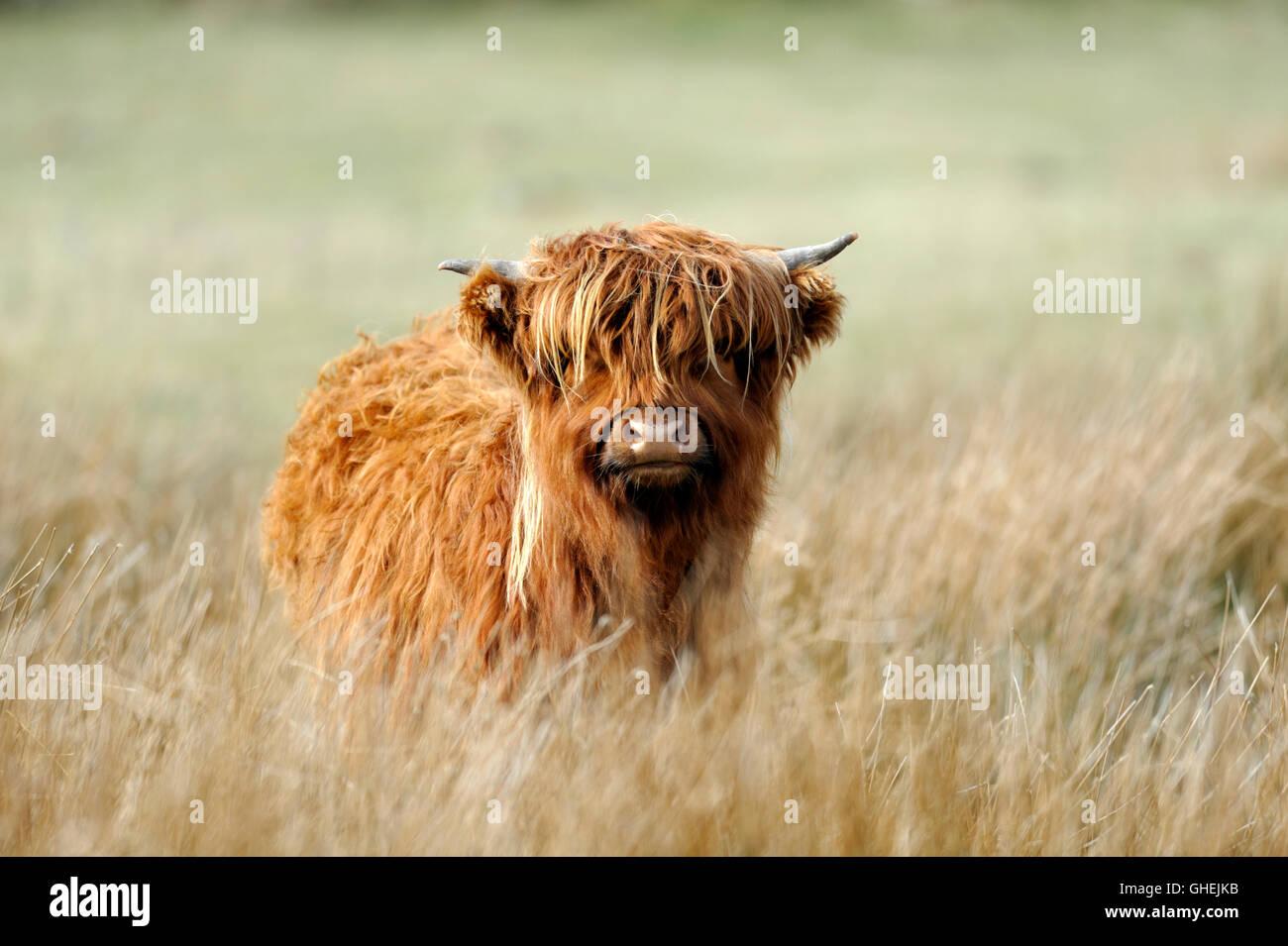 Highland Cow, Scotland, UK - Stock Image