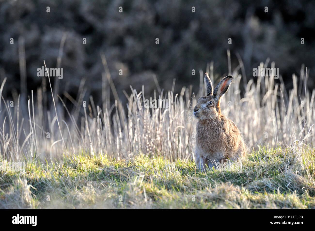 Brown Hare (Lepus europaeus) - UK - Stock Image
