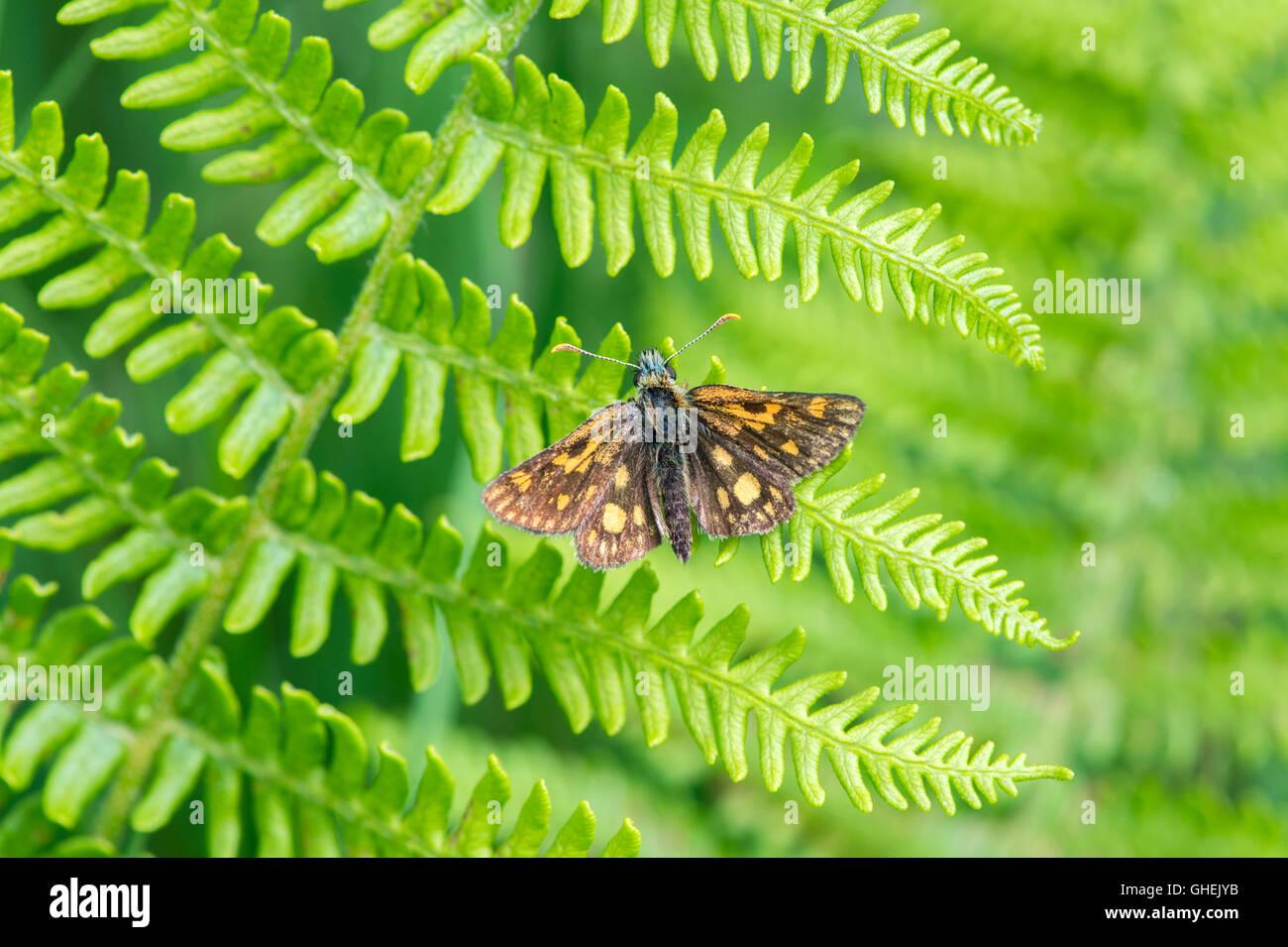 Chequered skipper butterfly (Carterocephalus palaemon) on bracken - UK - Stock Image
