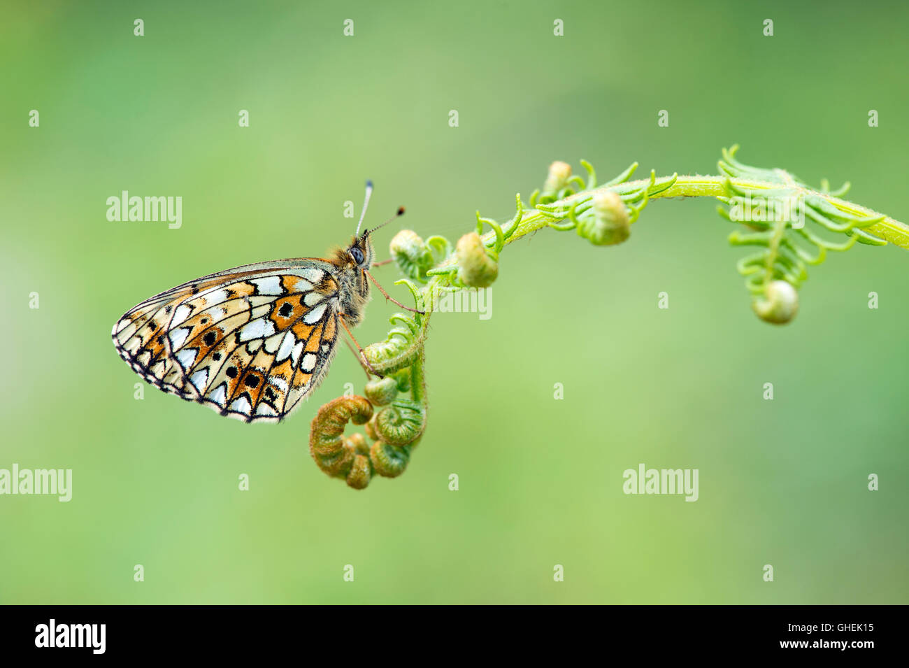 Small pearl bordered fritillary butterfly (Boloria selene) on bracken - UK - Stock Image