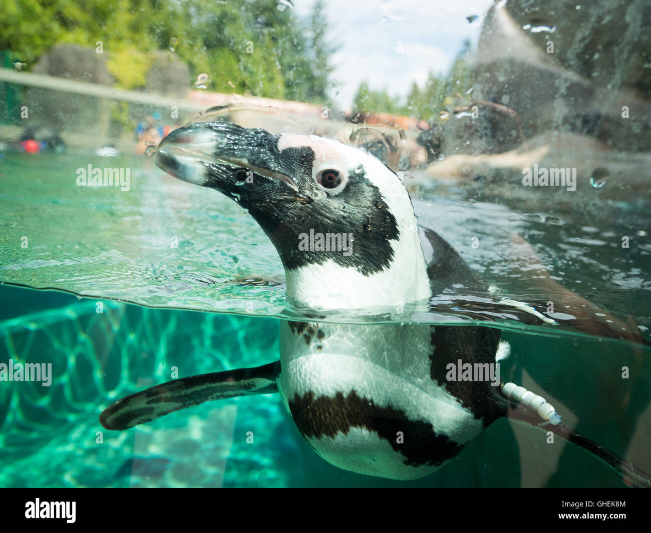 African penguin, in captivity, swimming at the Vancouver Aquarium in Vancouver, British Columbia, Canada. - Stock Image