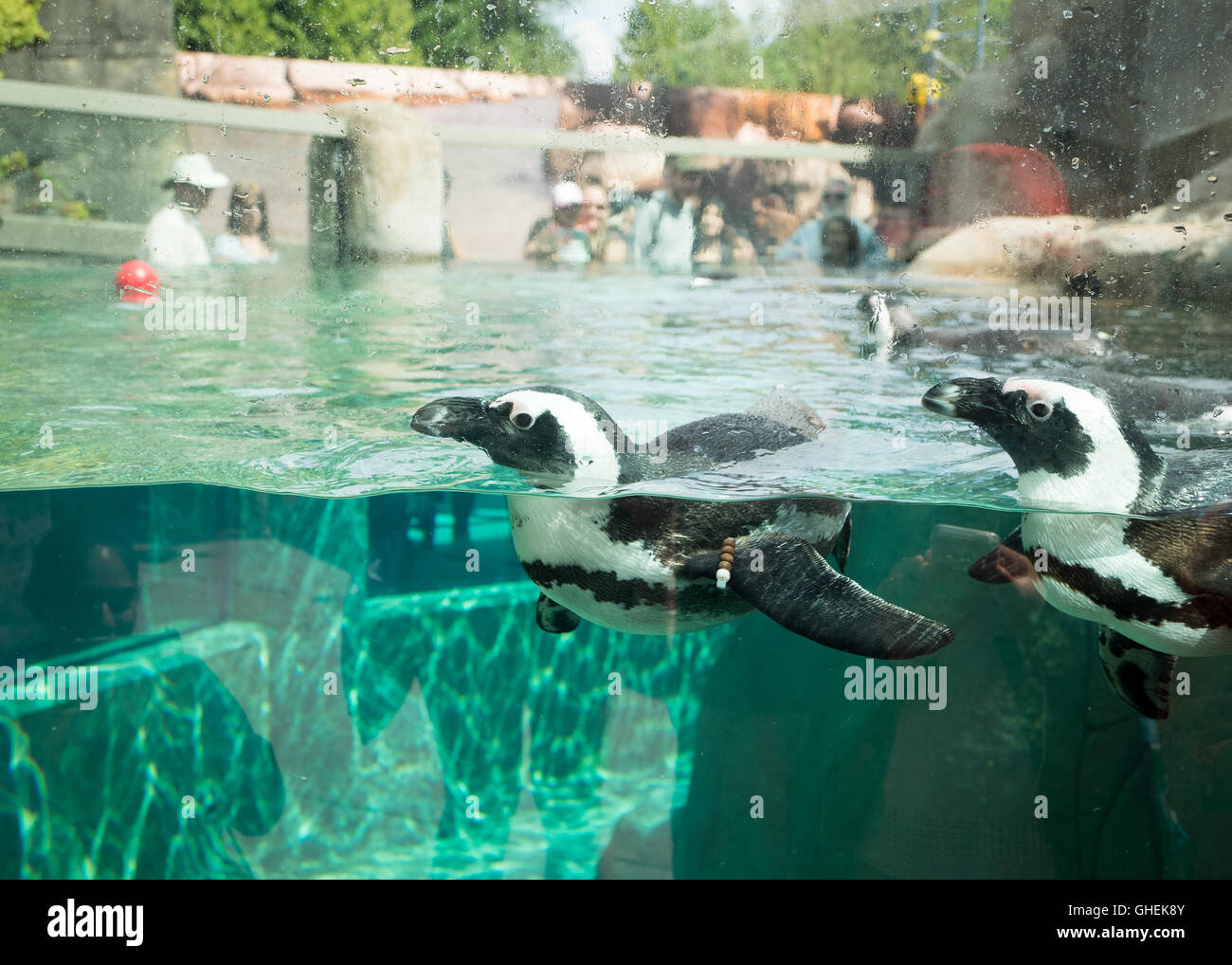 African penguins, in captivity, swimming at the Vancouver Aquarium in Vancouver, British Columbia, Canada. - Stock Image