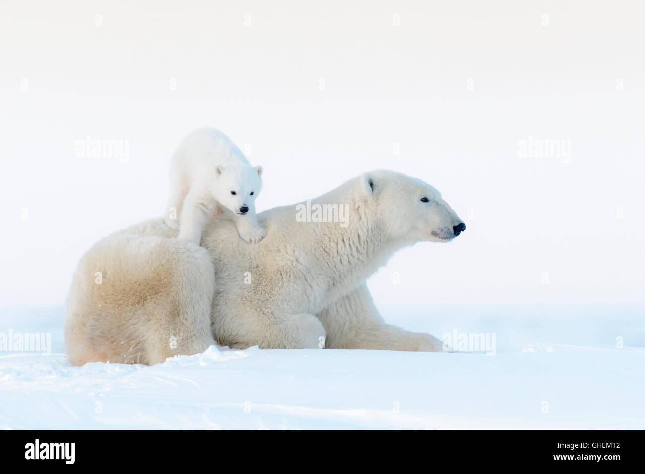 Polar bear mother (Ursus maritimus) lying down on tundra and playing with new born cub, Wapusk National Park, Manitoba, - Stock Image