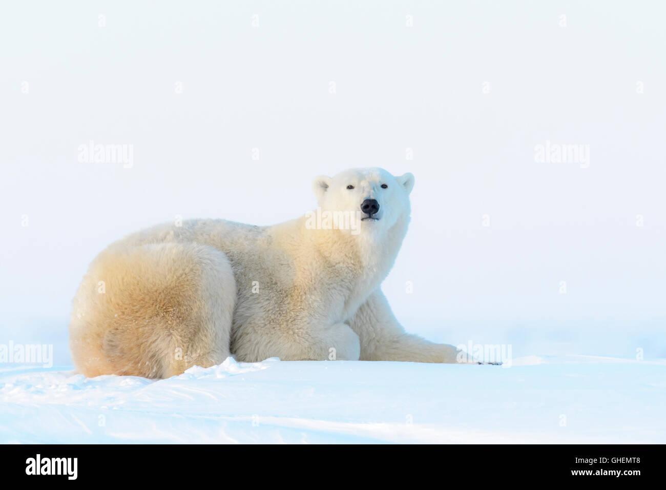 Polar bear (Ursus maritimus) lying down on tundra, Wapusk National Park, Manitoba, Canada - Stock Image