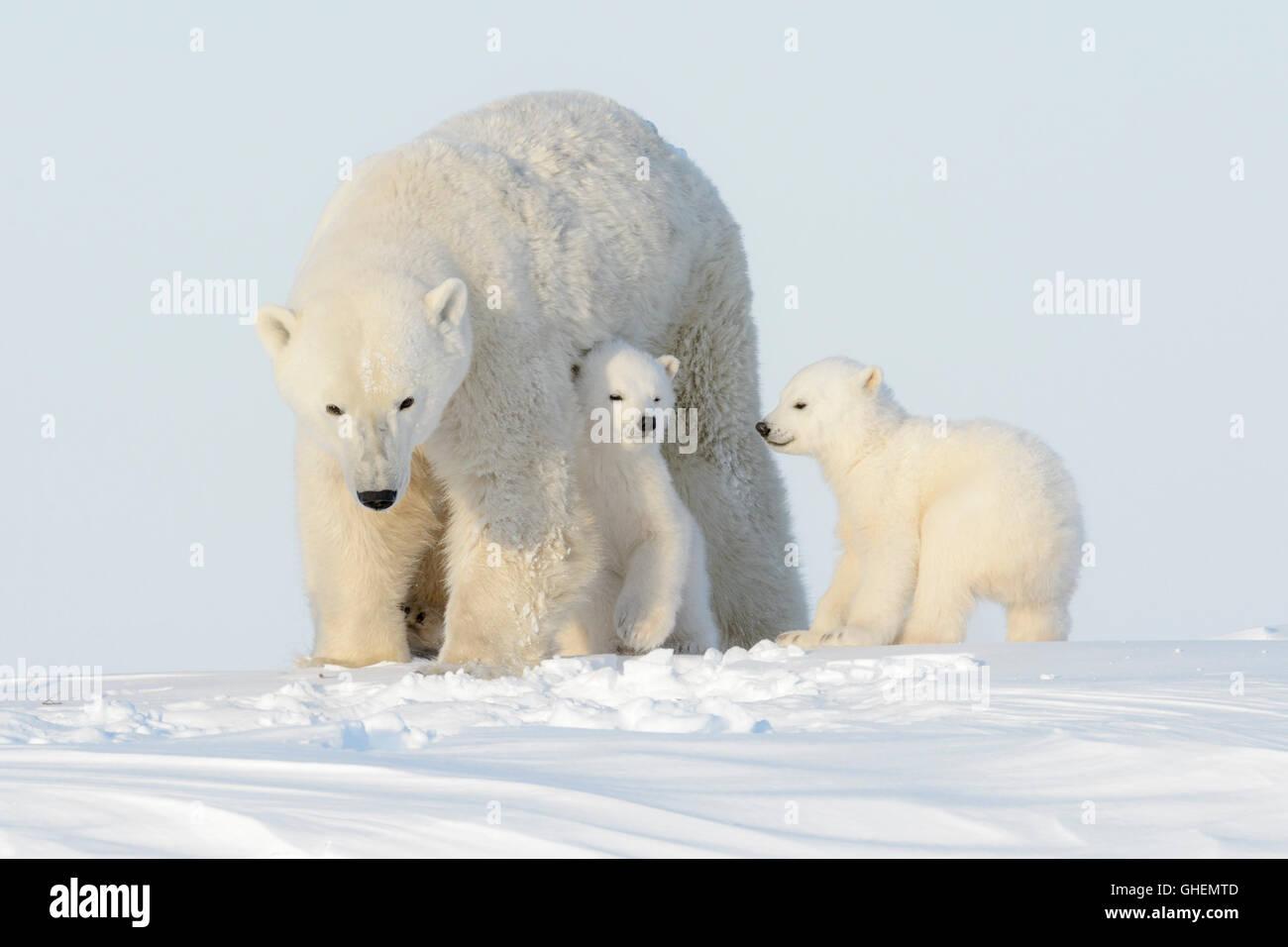Polar bear mother (Ursus maritimus) walking on tundra with two cubs, Wapusk National Park, Manitoba, Canada - Stock Image