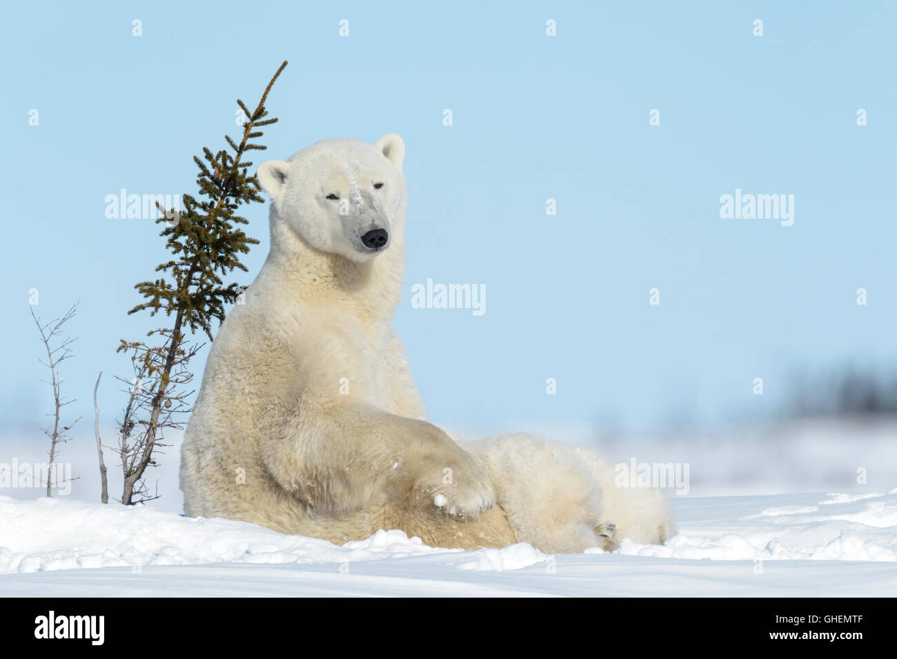 WRANGEL ISLAND. WHAT WHITE BEARS EAT 8