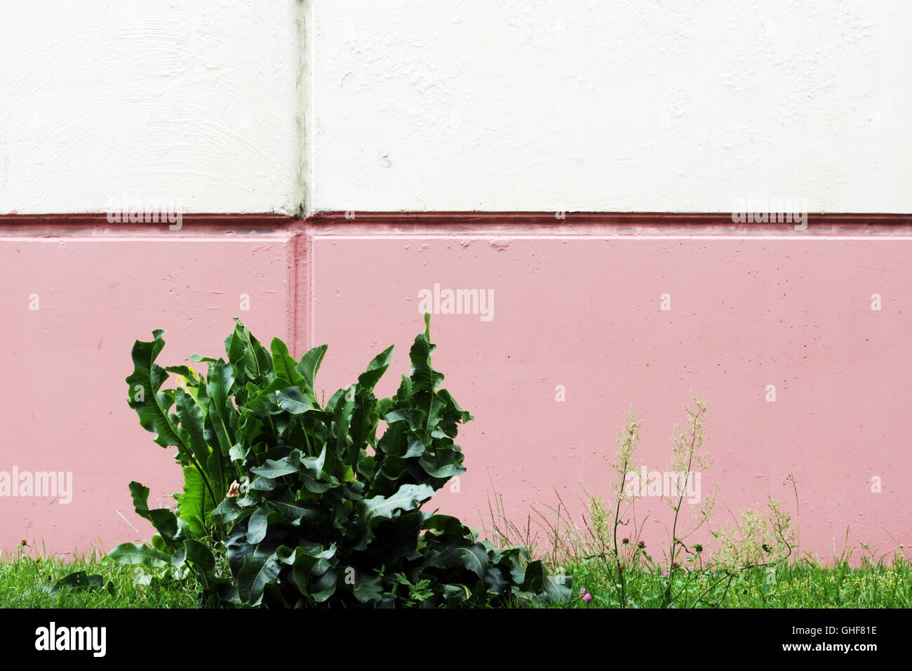 Cochlearia armoracia, Horseradish against the background of the walls painted in white and pink paint. - Stock Image