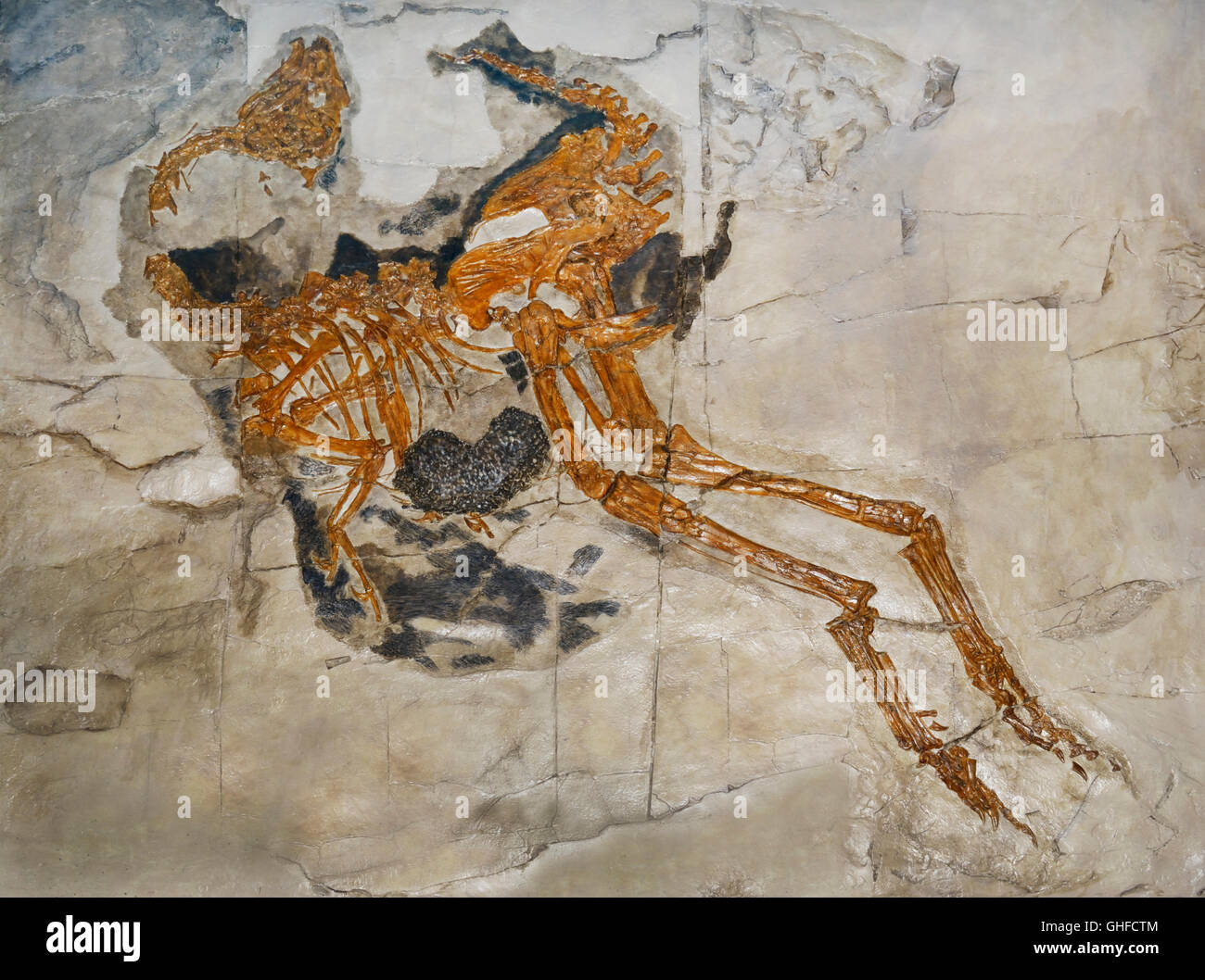 Caudipteryx zoui, the first non-bird dinosaur fossil found with modern feathers, early Cretaceous, Liaoning Prov. - Stock Image