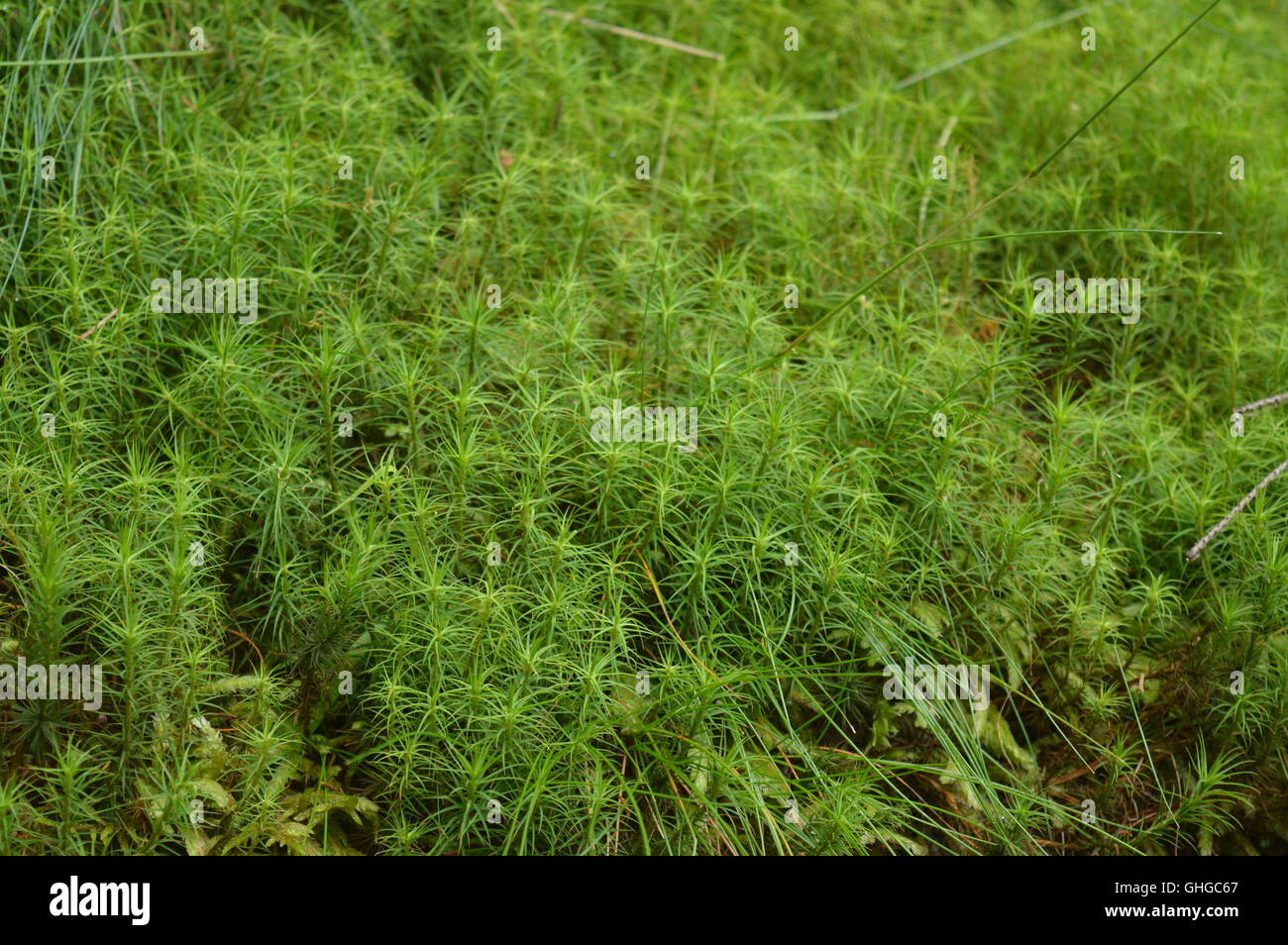 Green moss in a forest - Stock Image