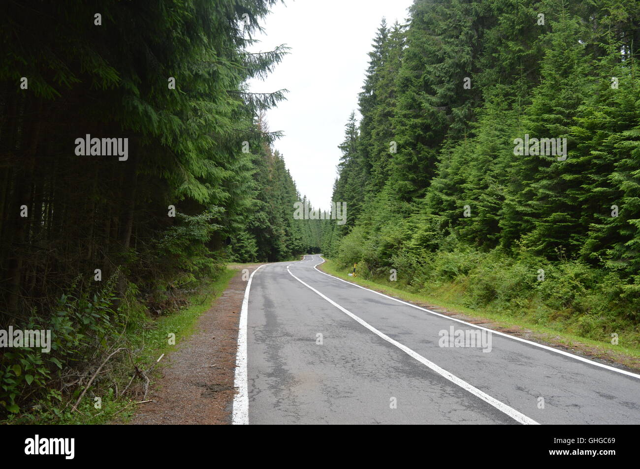 A road through a forest of conifers - Stock Image