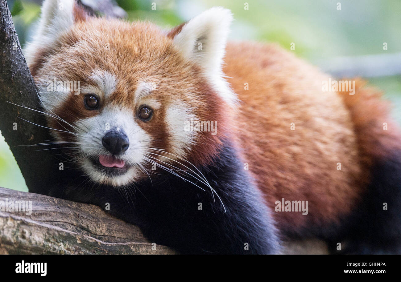 Berlin, Germany. 14th Sep, 2016. A red panda relaxes in his animal enclosure at Tierpark in Berlin, Germany, 14 - Stock Image