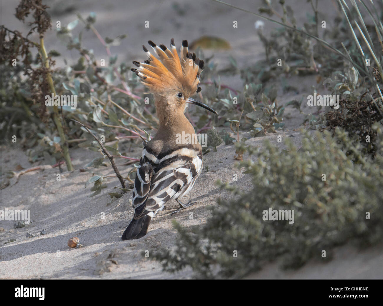 Brancaster, Norfolk, UK. 28th September, 2016. Hoopoes are medium-sized birds with long, broad, rounded wings, slightly - Stock Image