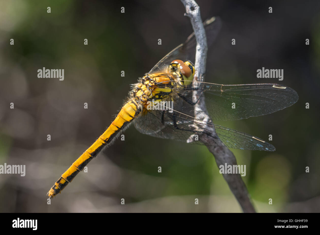 Female Black Darter dragonfly (Sympetrum danae) perched on a twig. Stock Photo