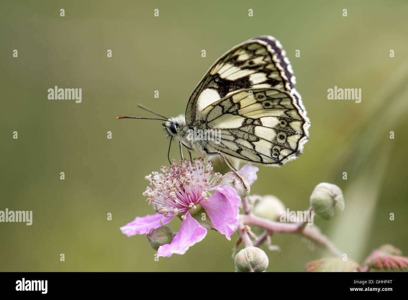 Marbled White butterfly (Melanargia galathea) on pink flower. Profile view - Stock Image