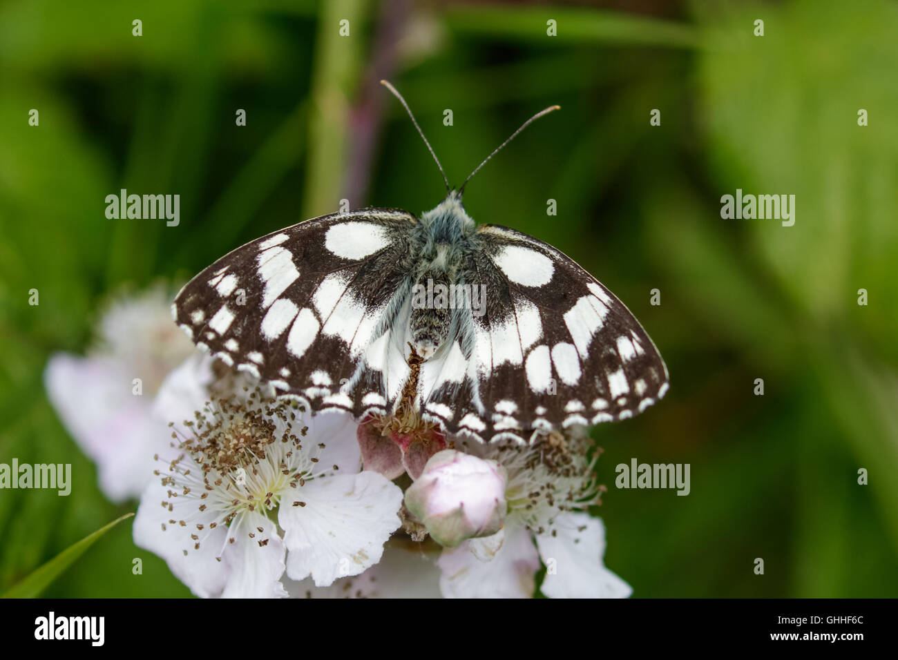 Top view of a Marbled White butterfly (Melanargia galathea) on pink flower. - Stock Image