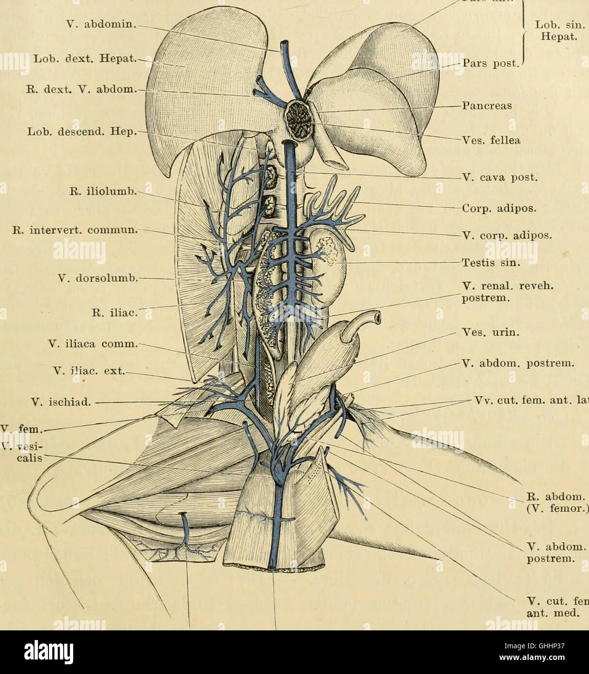 Gemütlich Blasenhals Anatomie Galerie - Anatomie Von Menschlichen ...