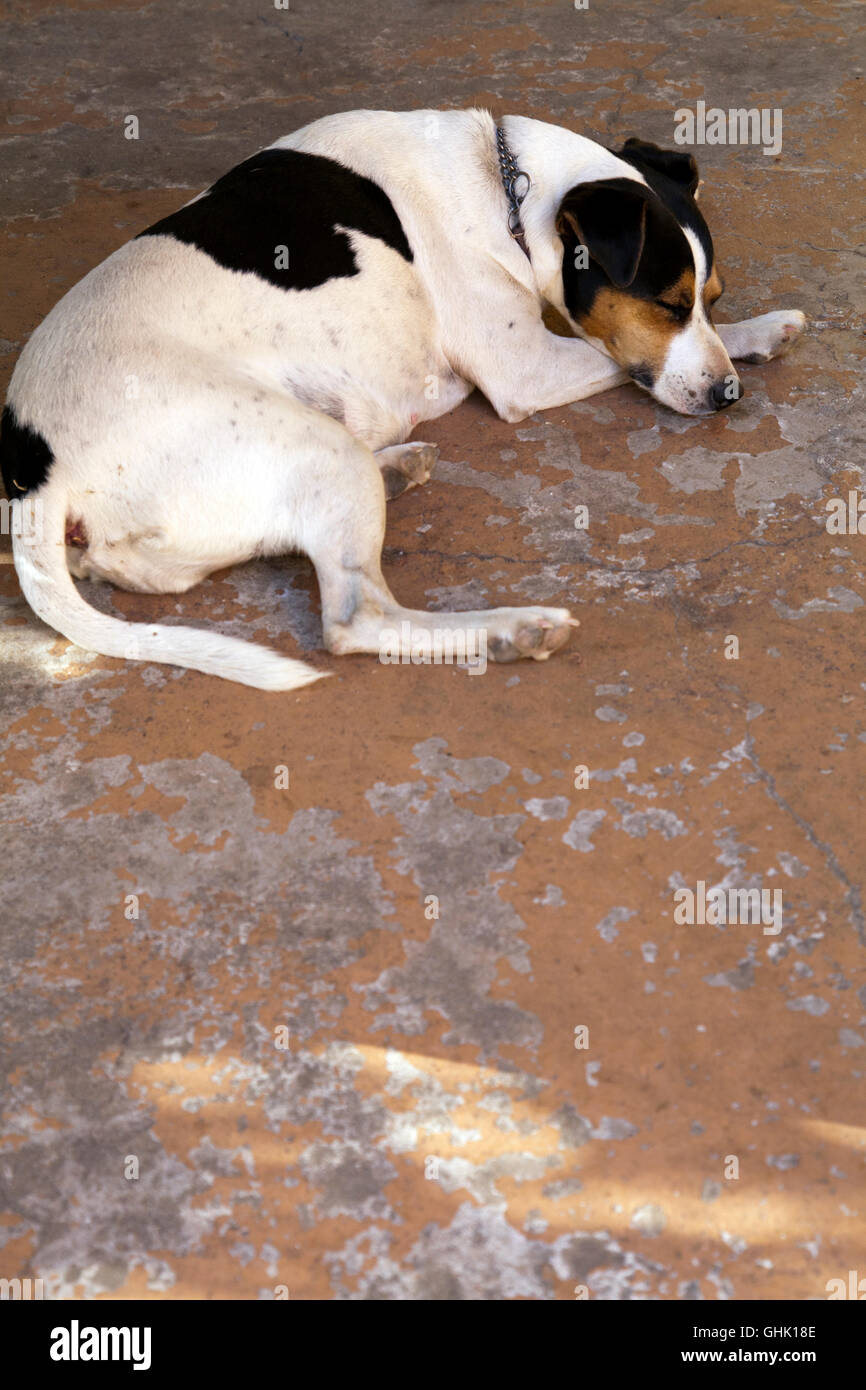 Jack Russell Sleeping on Porch - Stock Image