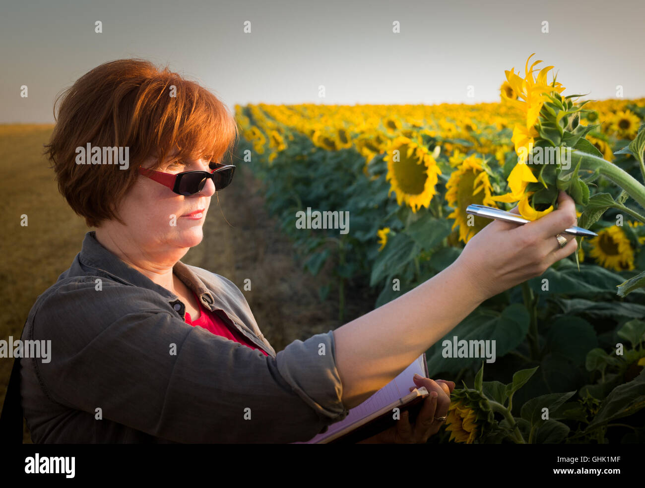 Agriculture, female farmer or agronomist in sunflower field - Stock Image