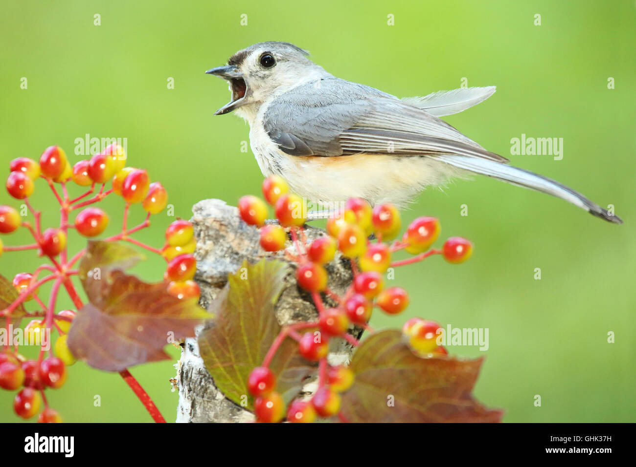 A Tufted Titmouse calling loudly. - Stock Image