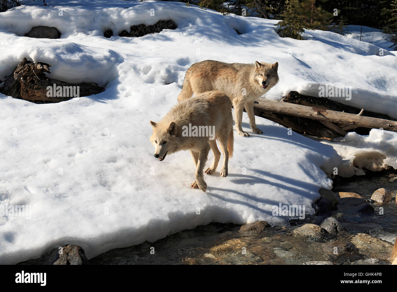 Near a forest stream, wolves walk with visitors during a guided wolf walk near Golden BC. - Stock Image