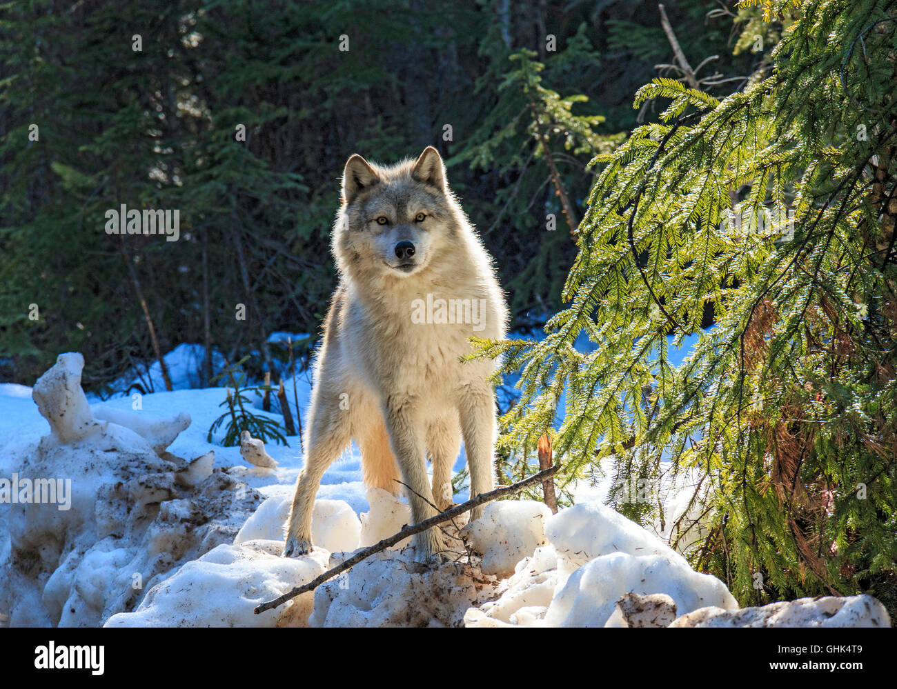 Wolves walk with visitors during a guided wolf walk in the forest and play in the snow near Golden BC. - Stock Image