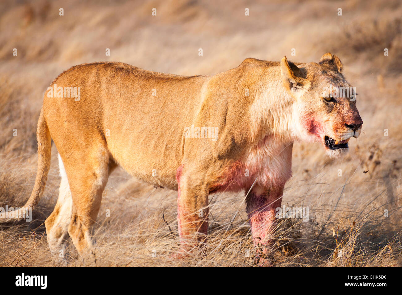Lioness in the dry grass in the Etosha National Park in Namibia, Africa - Stock Image