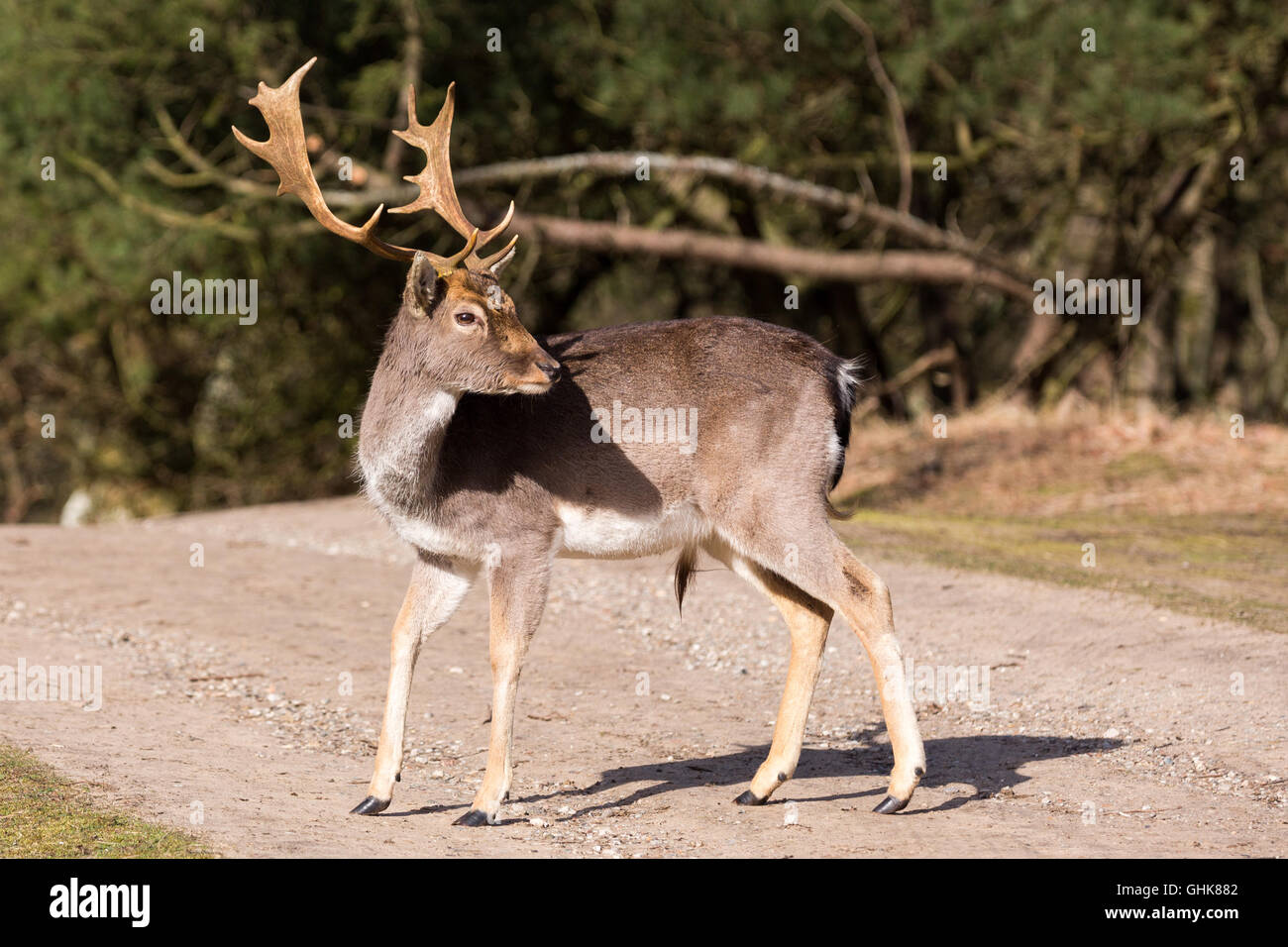 Whitetail deer with large rack in spring. - Stock Image