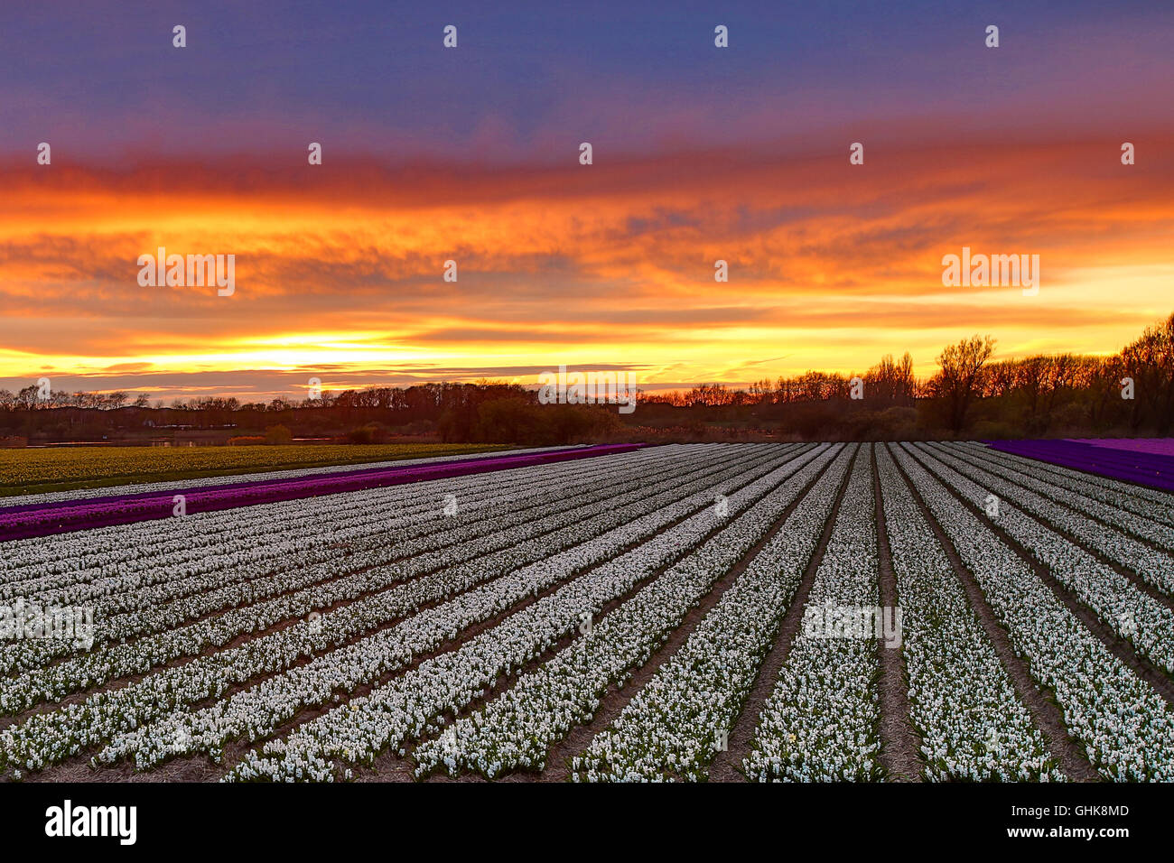 Flower field sunset High Definition Sunset Over Dutch Flower Field With Hyacinths Near The Keukenhof In Lisse The Netherlands Photo Taken On April 12 2016 Alamy Sunset Over Dutch Flower Field With Hyacinths Near The Keukenhof