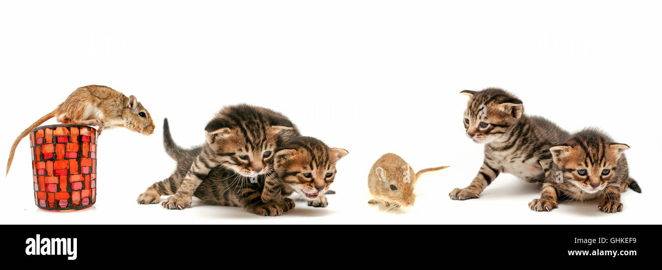 Collage of 4 images of curious one week old kittens in various poses of enquiry with a mouse - Stock Image