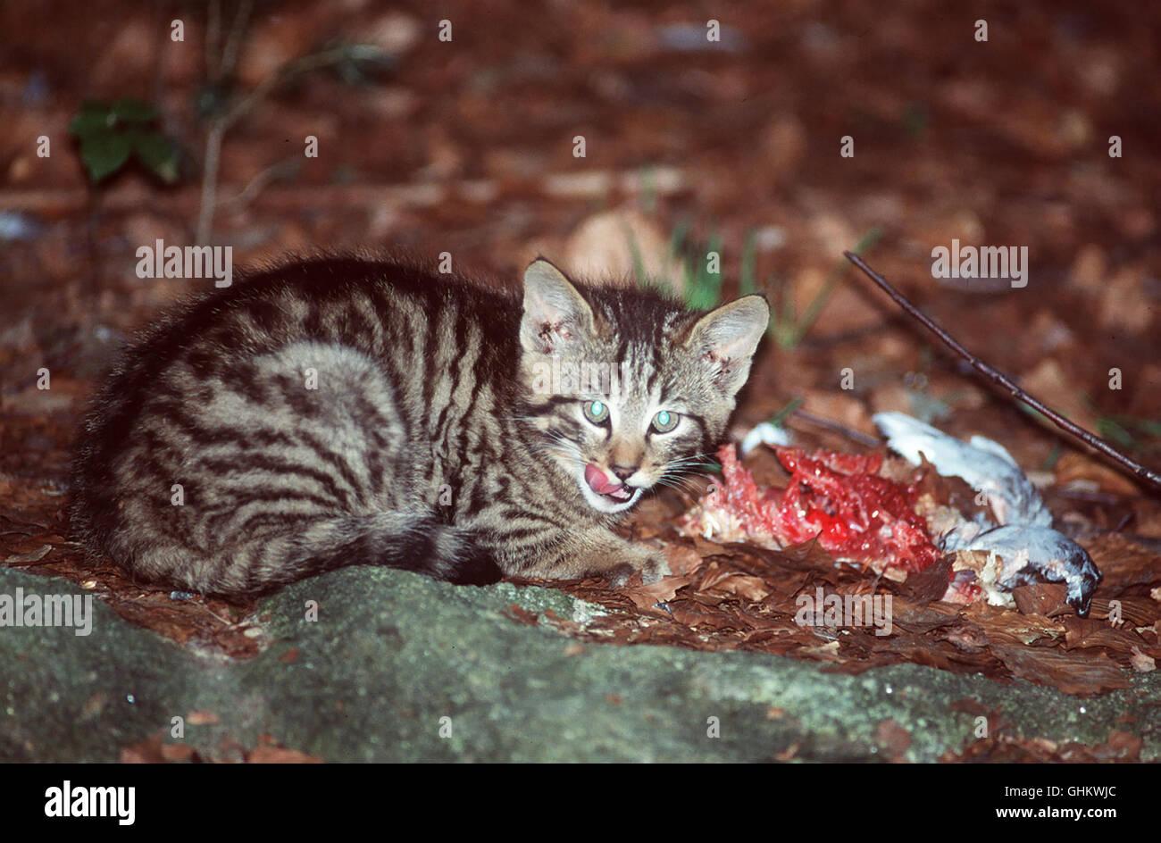 Prof. Antal Festetics präsentiert heute die Katze und zeigt ihren wilden Ursprung auf, die WILDKATZE (Foto). - Stock Image