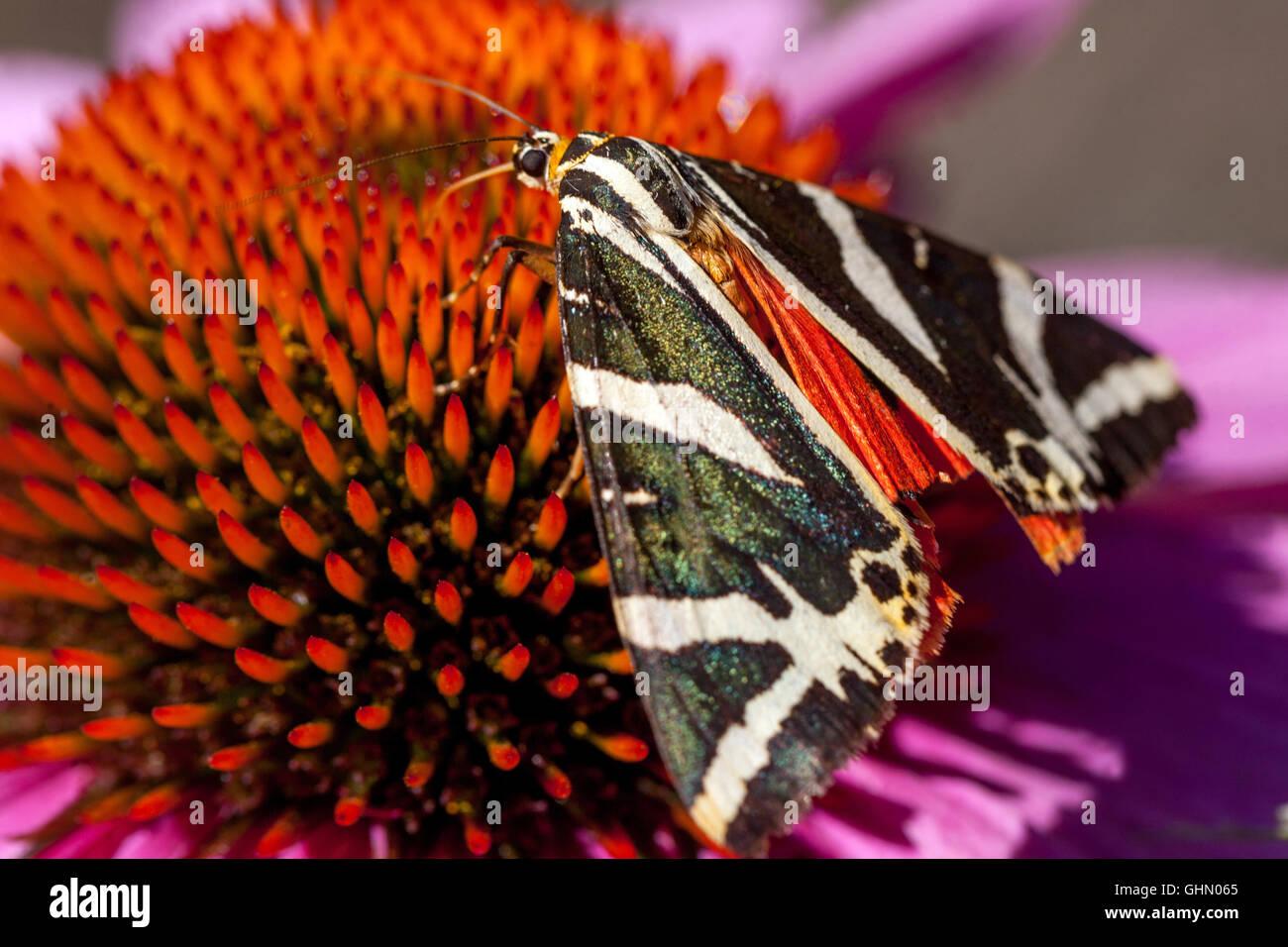 Jersey Tiger Euplagia quadripunctaria on Purple coneflower Echinacea purpurea - Stock Image
