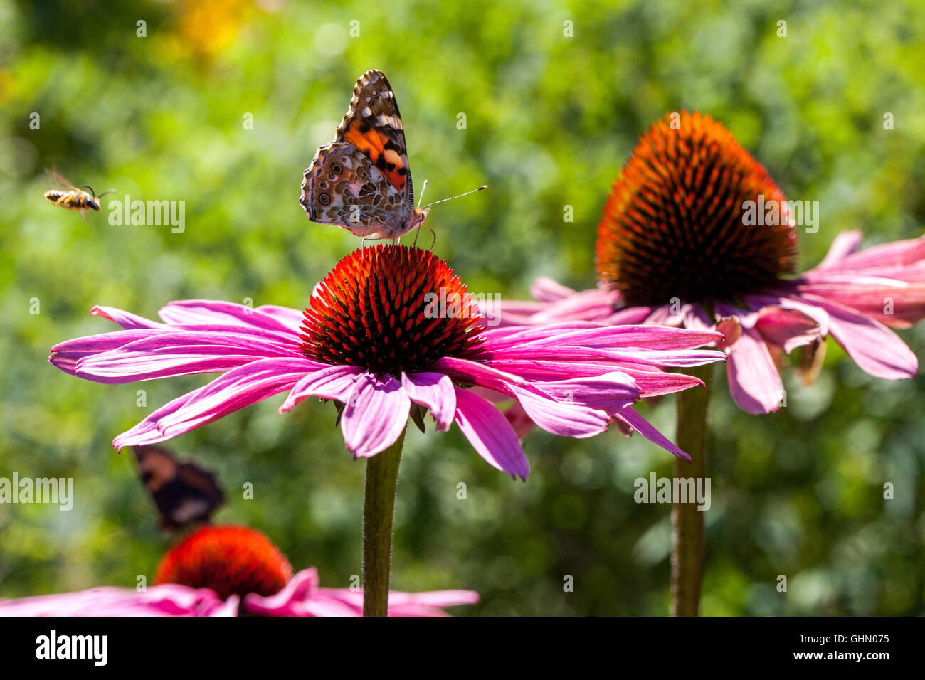 Painted lady  Vanessa cardui on Purple coneflower Echinacea purpurea - Stock Image