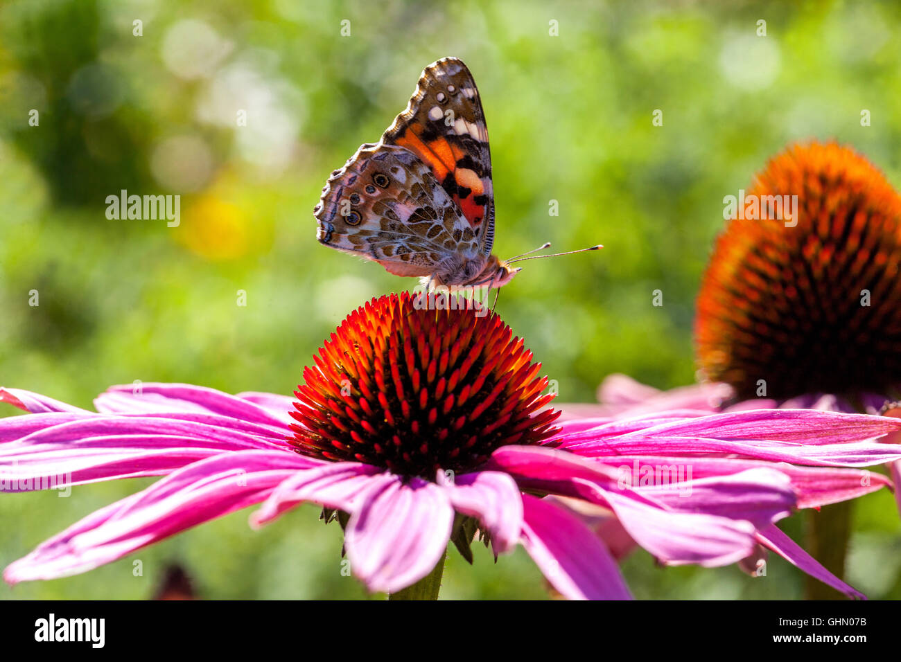 Painted lady  Vanessa cardui on Purple coneflower Echinacea purpurea, Insect - Stock Image