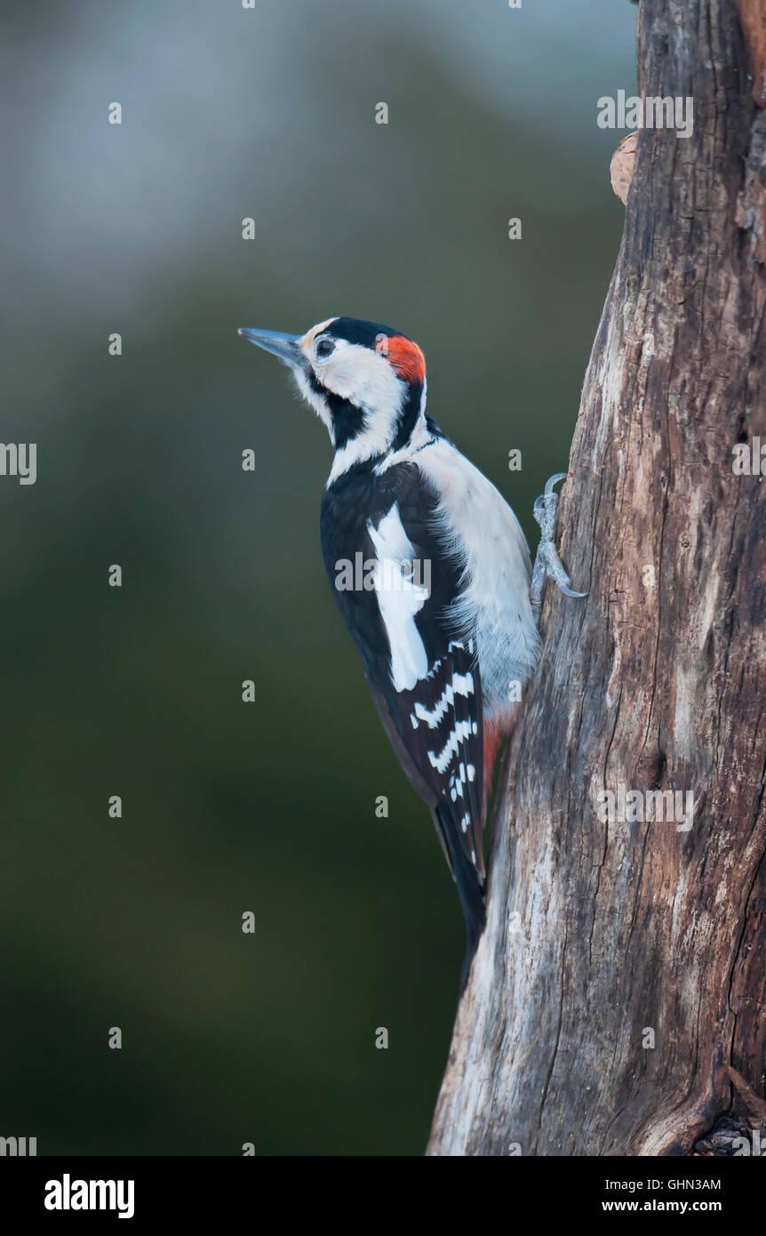 Syrian Woodpecker Dendrocopos syriacus Bulgaria - Stock Image